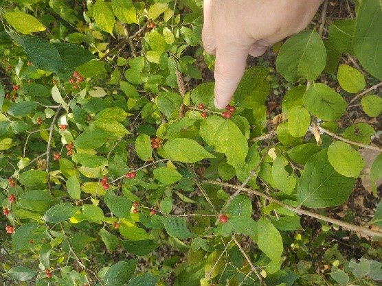 Image of bush honeysuckle with red berries
