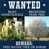 Bounty for Removal of Bradford Pear Trees and Bush Honeysuckle