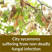 City sycamores suffering from non-deadly fungal infection