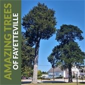 """Image of two tall Eastern Red Cedar trees against a blue sky.  Text: """"Amazing Trees of Fayetteville."""""""