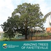 """Image of a post oak at the Fayetteville library: """"Amazing Trees of Fayetteville"""""""