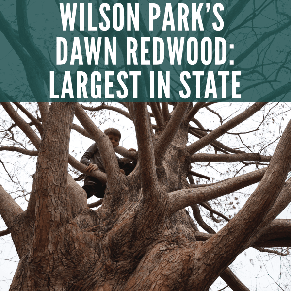 Dawn Redwood Declared Largest in State