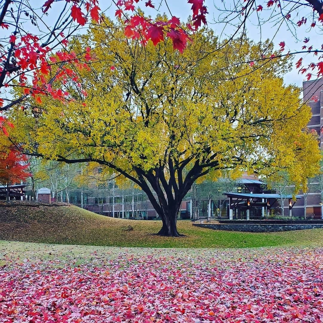 An image of Fayetteville's second Amazing Tree: an Elm Tree at Washington Regional Hospital