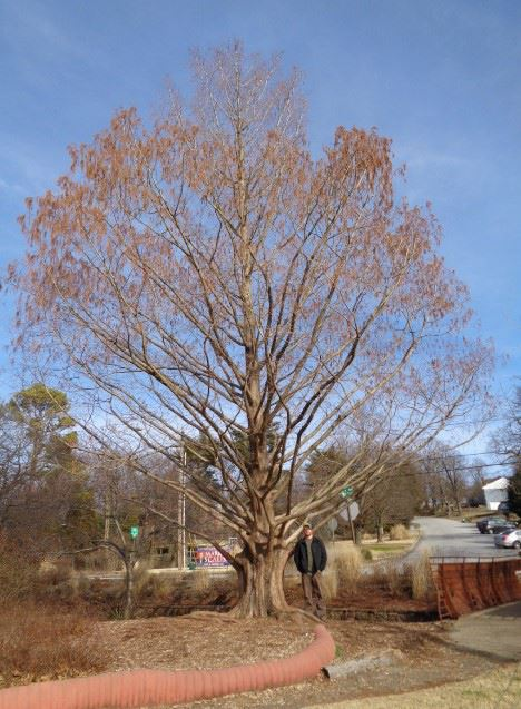 A photo of the State Champion Dawn Redwood tree in Wilson Park.